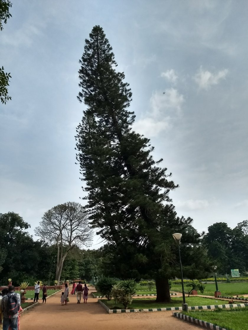 A Cook Pine, or Christmas tree, in Lalbagh